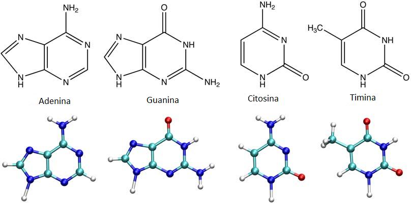 Pirimidine e purine del DNA