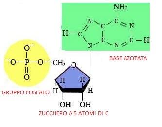 Rappresentazione di un nucleotide (DNA)