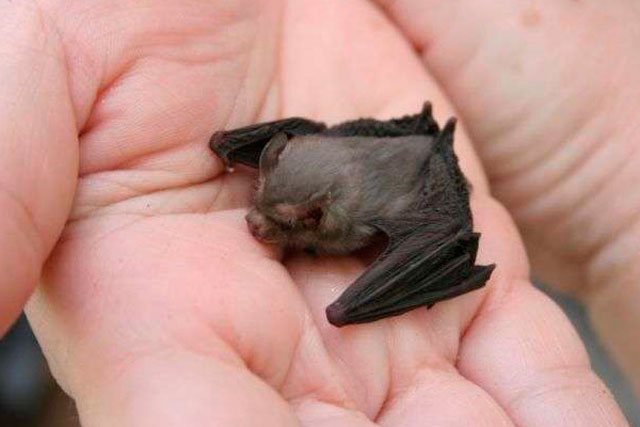 Pipistrello calabrone