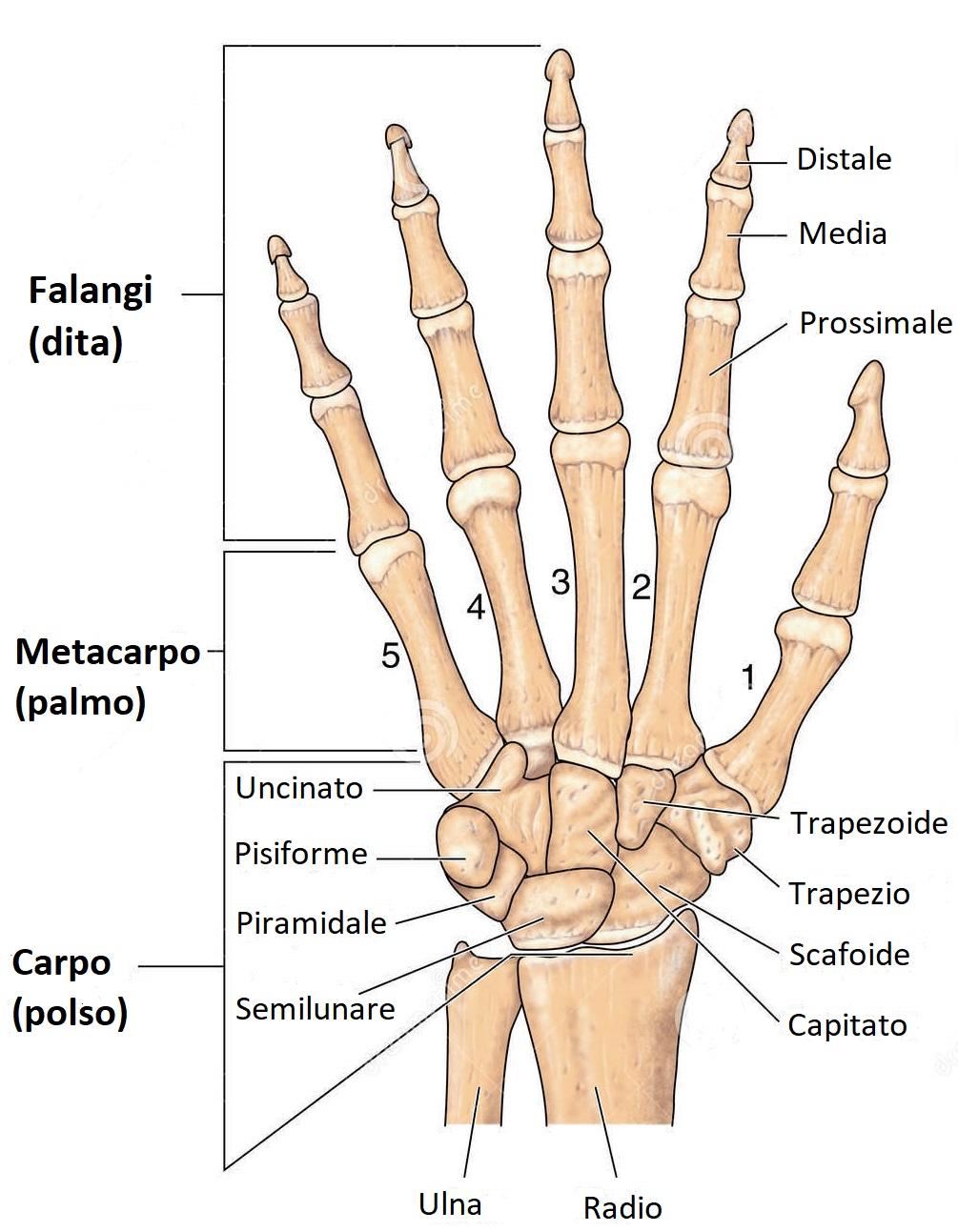 Ossa della mano