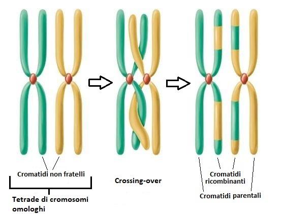 Schema crossing-over meiosi