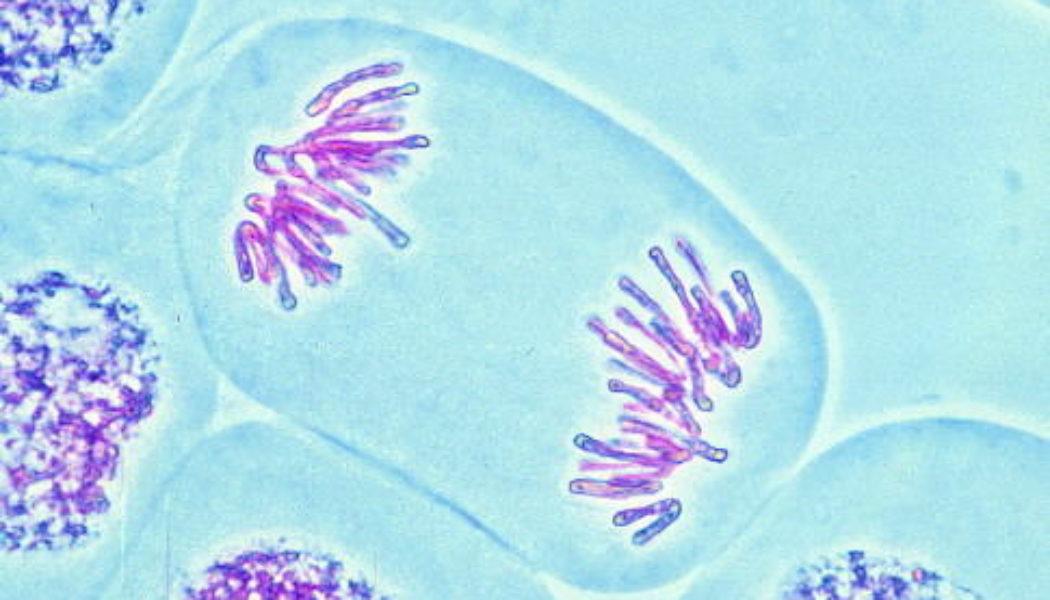 La meiosi, processo alla base della riproduzione sessuata